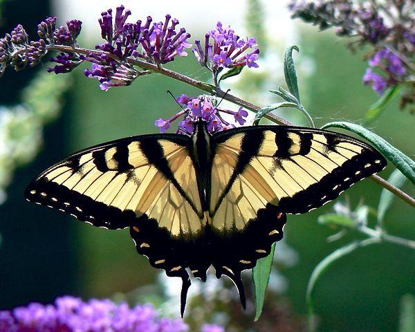 Cei mai frumosi fluturi din lume, in poze spectaculoase - Poza 28