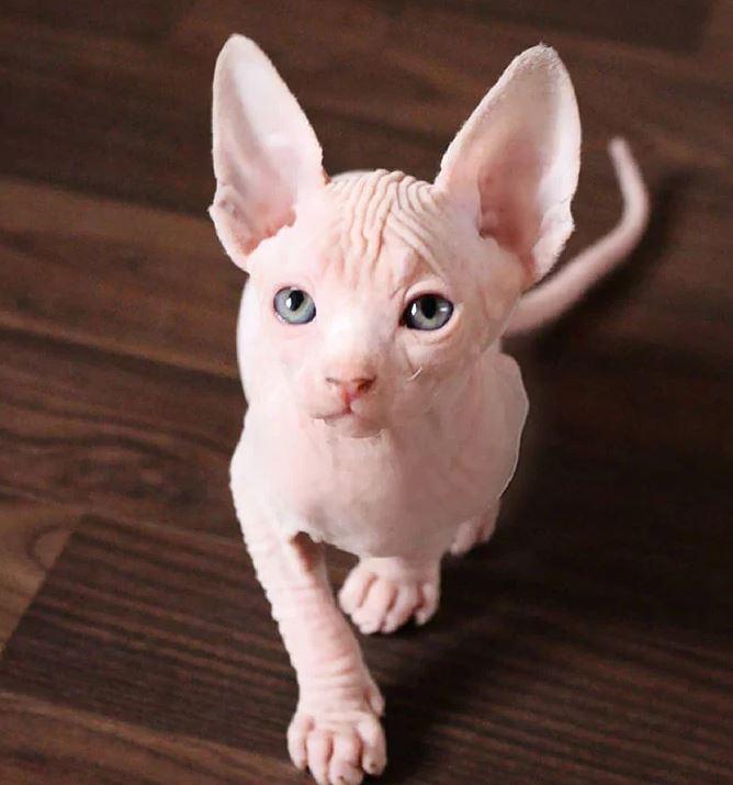 Frumusetea bizara a pisicutelor Sphynx, in poze de exceptie - Poza 17