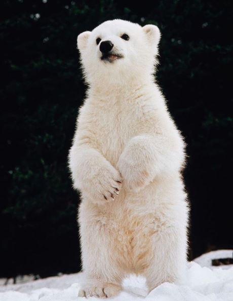 Cele mai simpatice animalute de la Polul Nord, in poze adorabile - Poza 10