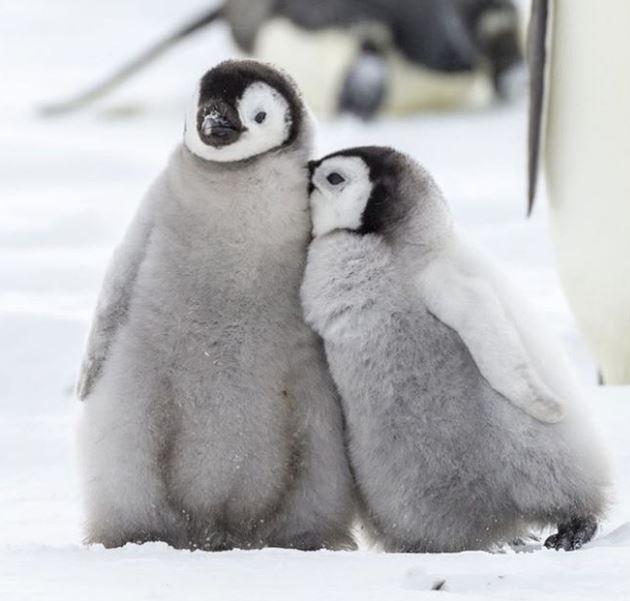 Cele mai simpatice animalute de la Polul Nord, in poze adorabile - Poza 12